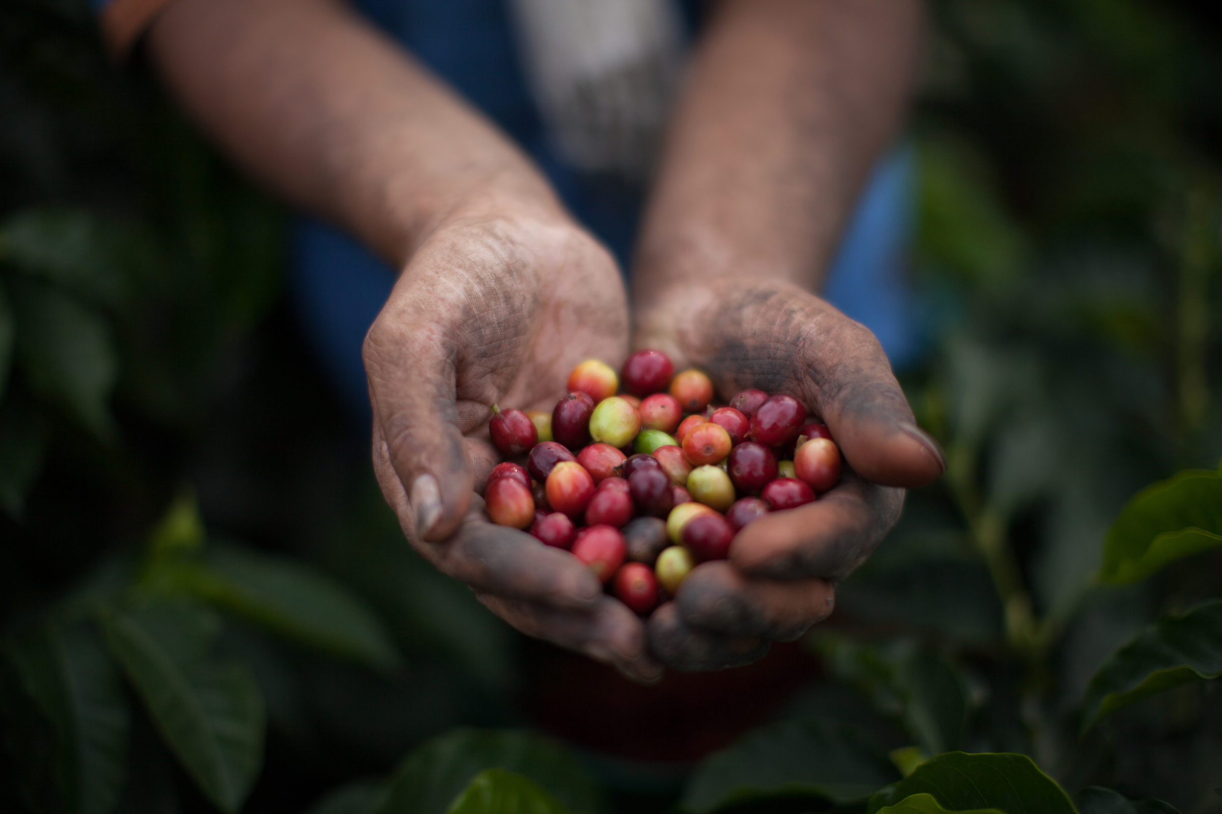 Freddy holds a handful of freshly-picked coffee cherries. Max Havelaar Switzerland works with Colombian coffee producer Cooperativa de Caficultores de Manizales on Fairtrade-certified coffee production.